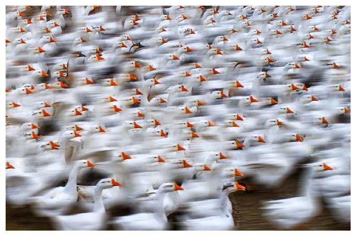 《鹅的世界》摄影:何进文.jpg