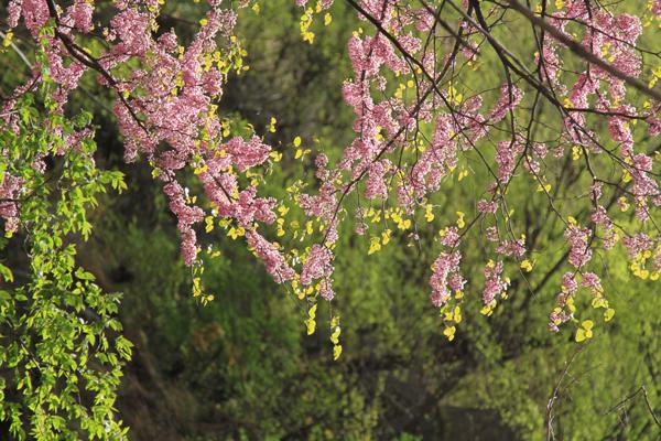 尧山紫荆  尹红岩 13949453733 (9).jpg