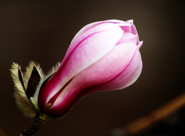 作品名称:《只把春来报》、作者:张宝富、13703756599、通讯地址:平顶山市区、拍摄地点:团城乡jpg.jpg