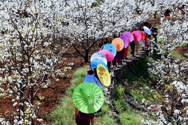《梨园春》郭东亮13303903932,2017年4月1日上午拍摄于鲁山一梨园.jpg